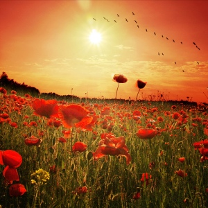 poppies-in-sunlight-with-birds